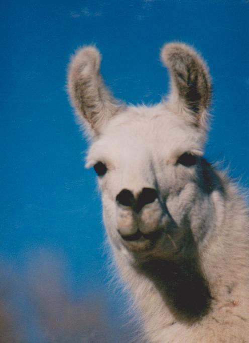 kiss_me_llama_by_quarksire