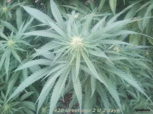 420greetingz