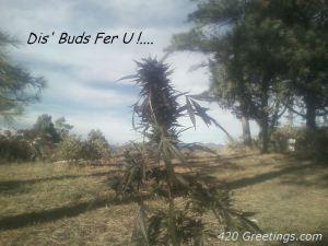 dis_bud