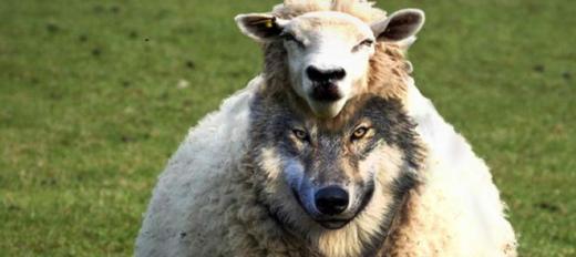 wolf-sheep-angela