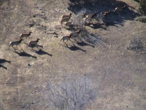 elk in motion over the gallegos ranch in pagosa springs, colorado