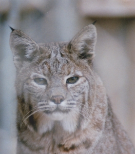 Rocky Mountain Lynx Photo by Quarksire