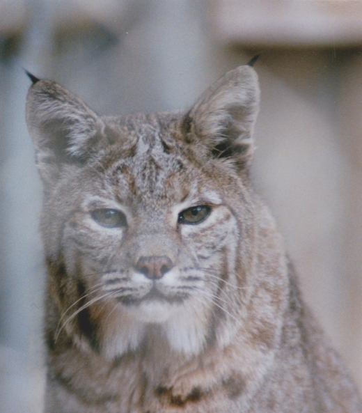 rocky_mtn_lynx_by_quarksire