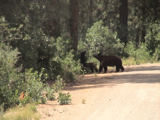 bears_on_indianlandroad